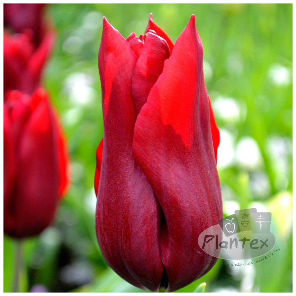 Cibuloviny Tulipan Red Shine