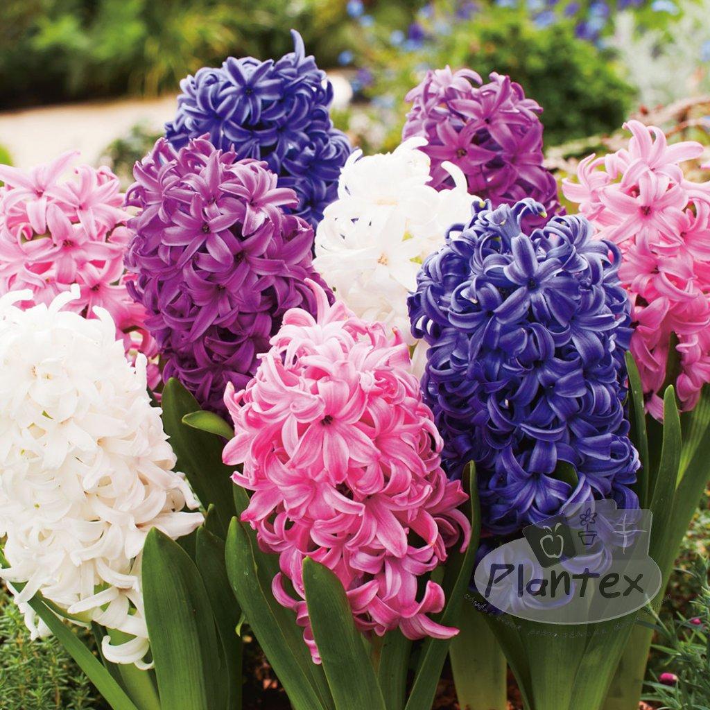 hyacinth mixed pkhyamxd