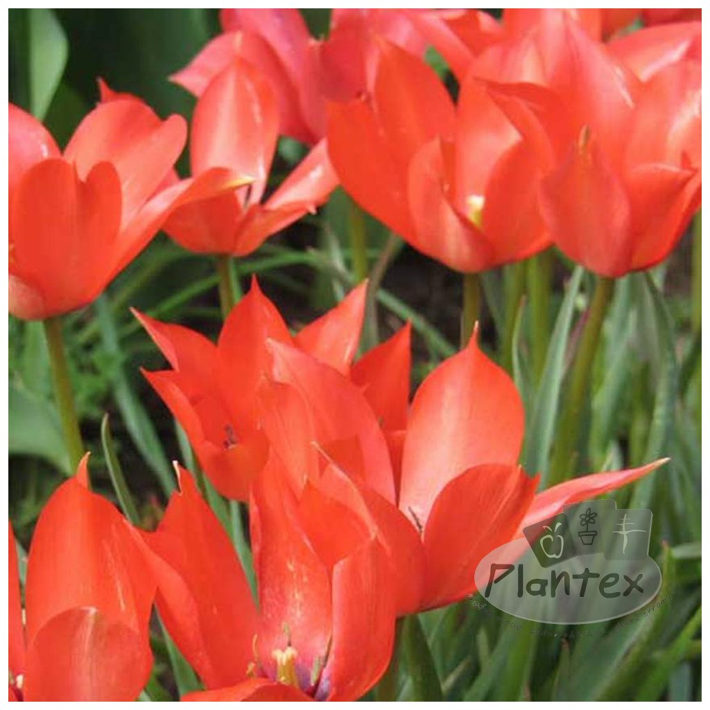 Cibuloviny Tulipan Red Hunter