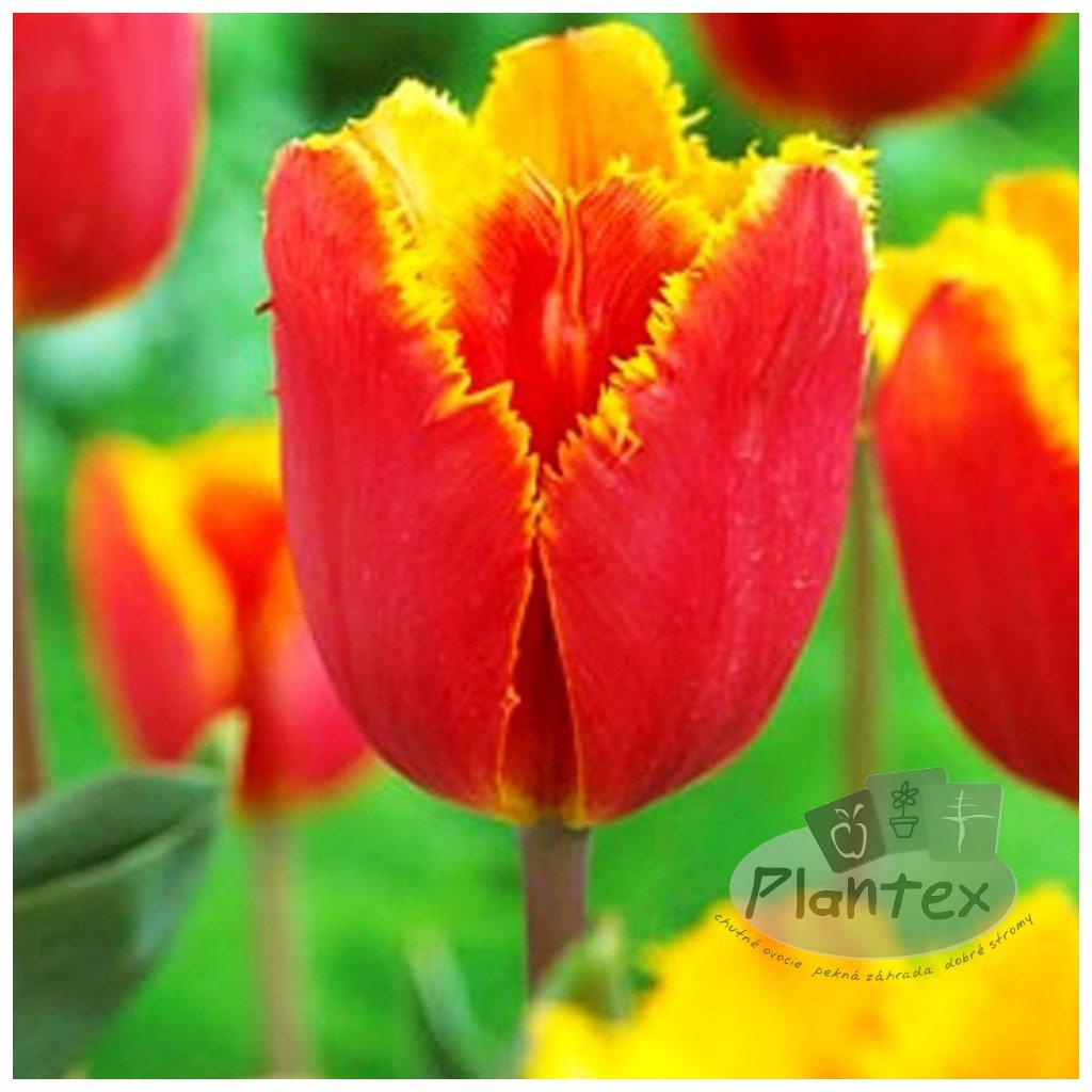 Cibuloviny Tulipan Tiano