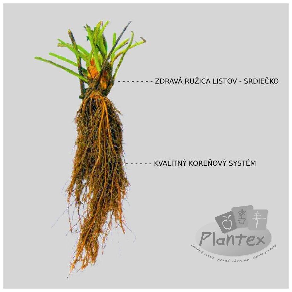 Korona frigo jahody