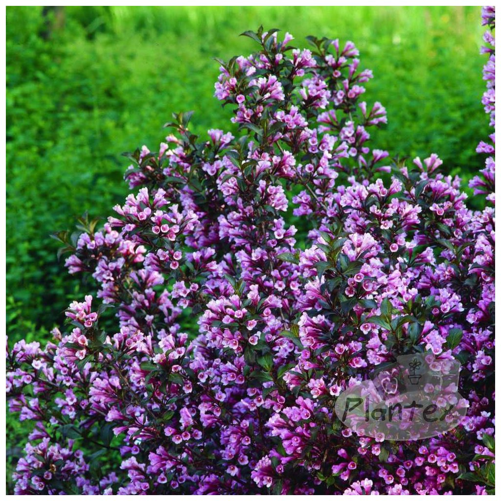 Weigela Purpurea