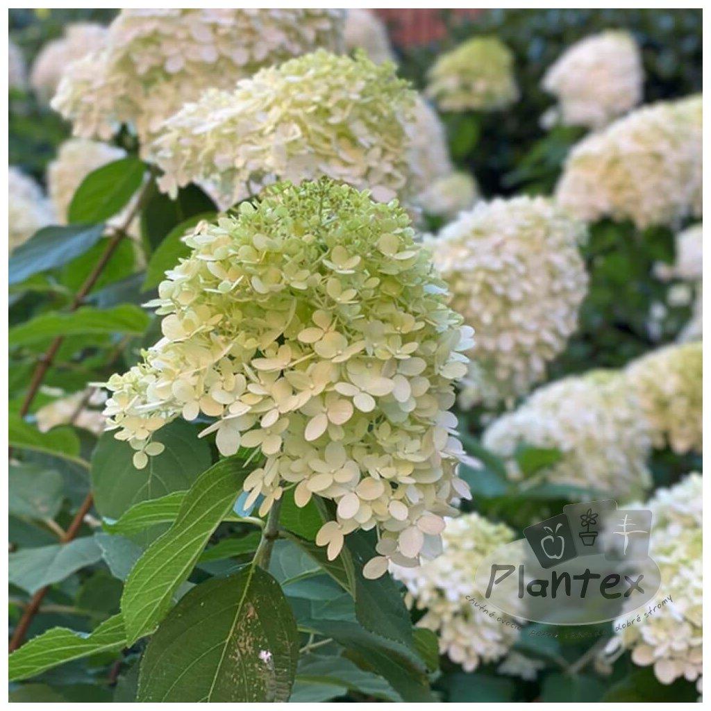 Hydrangea paniculata Limelight®