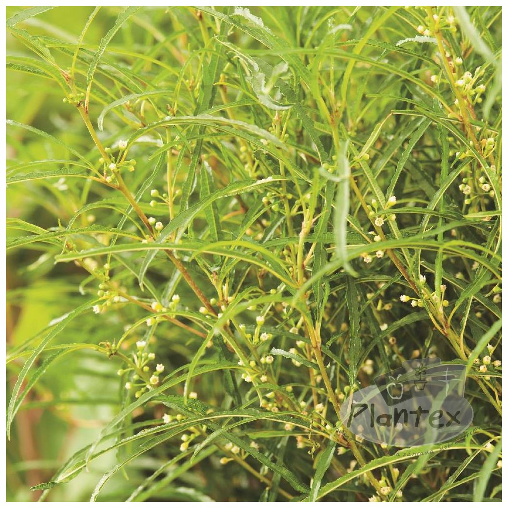 Rhamnus frangula Fine Line®