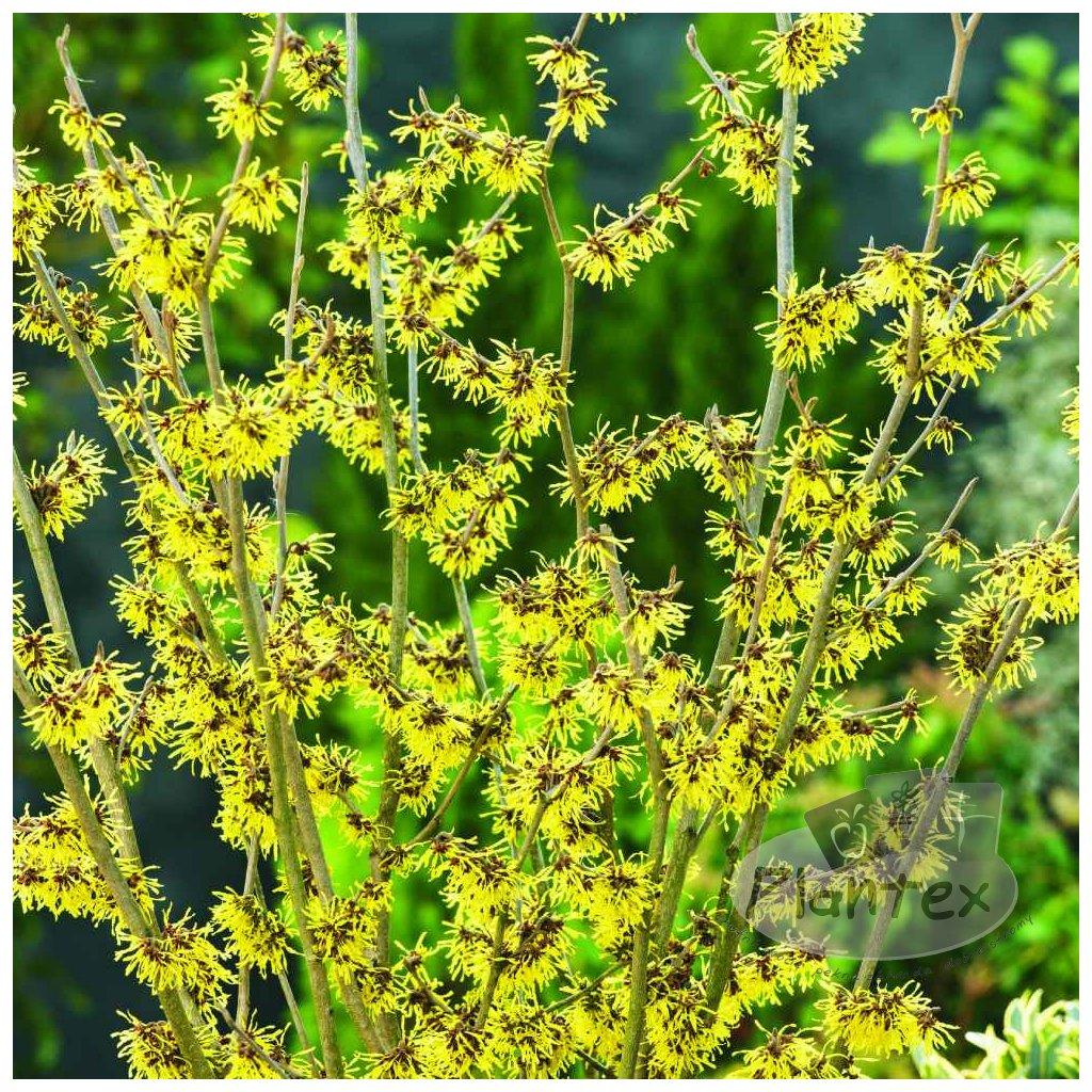 Hamamelis intermedia gelb