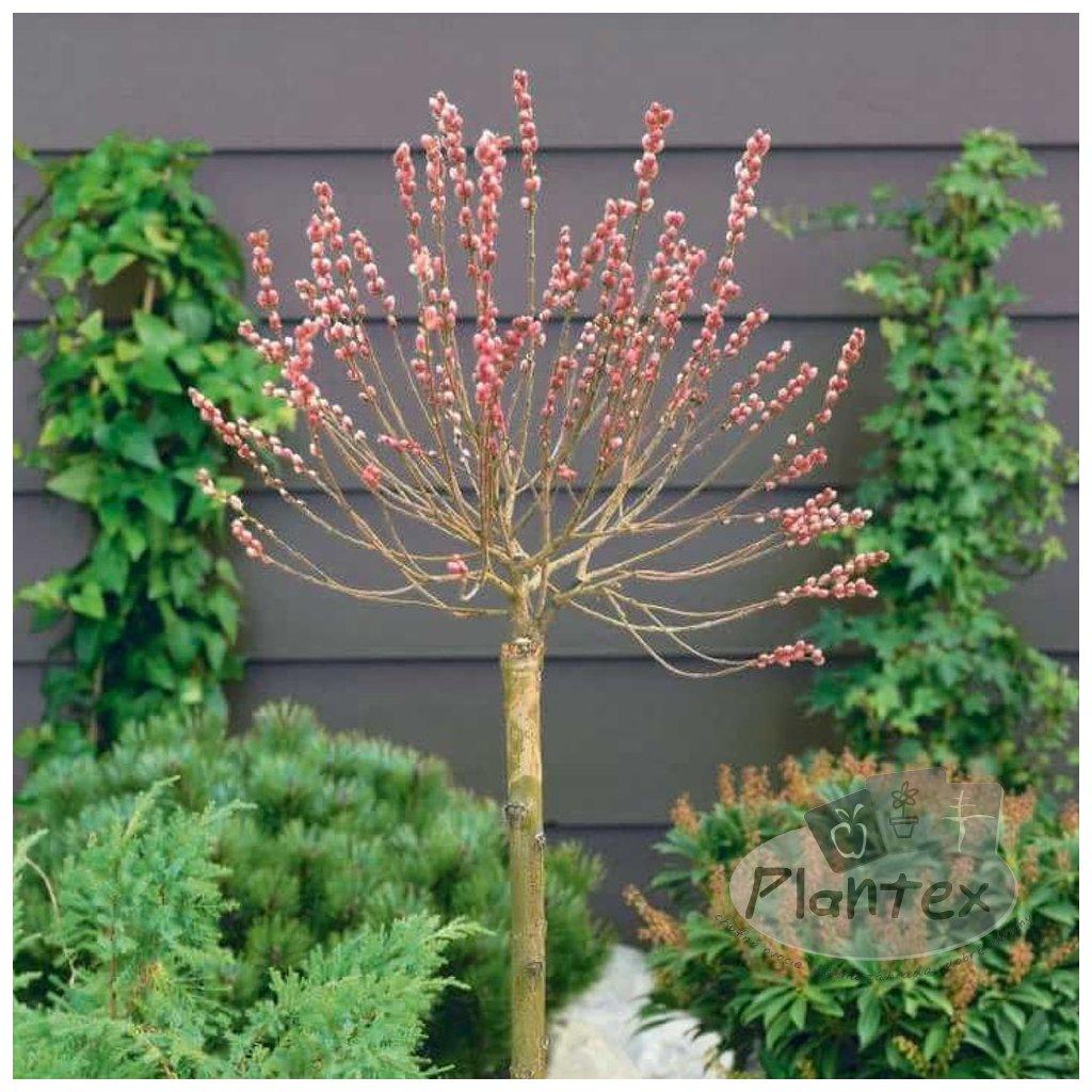 Salix gracilistyla 'Mt Aso'