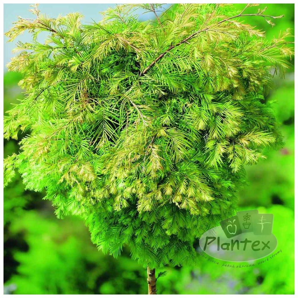 Metasequoia glypt. 'Matthaie'