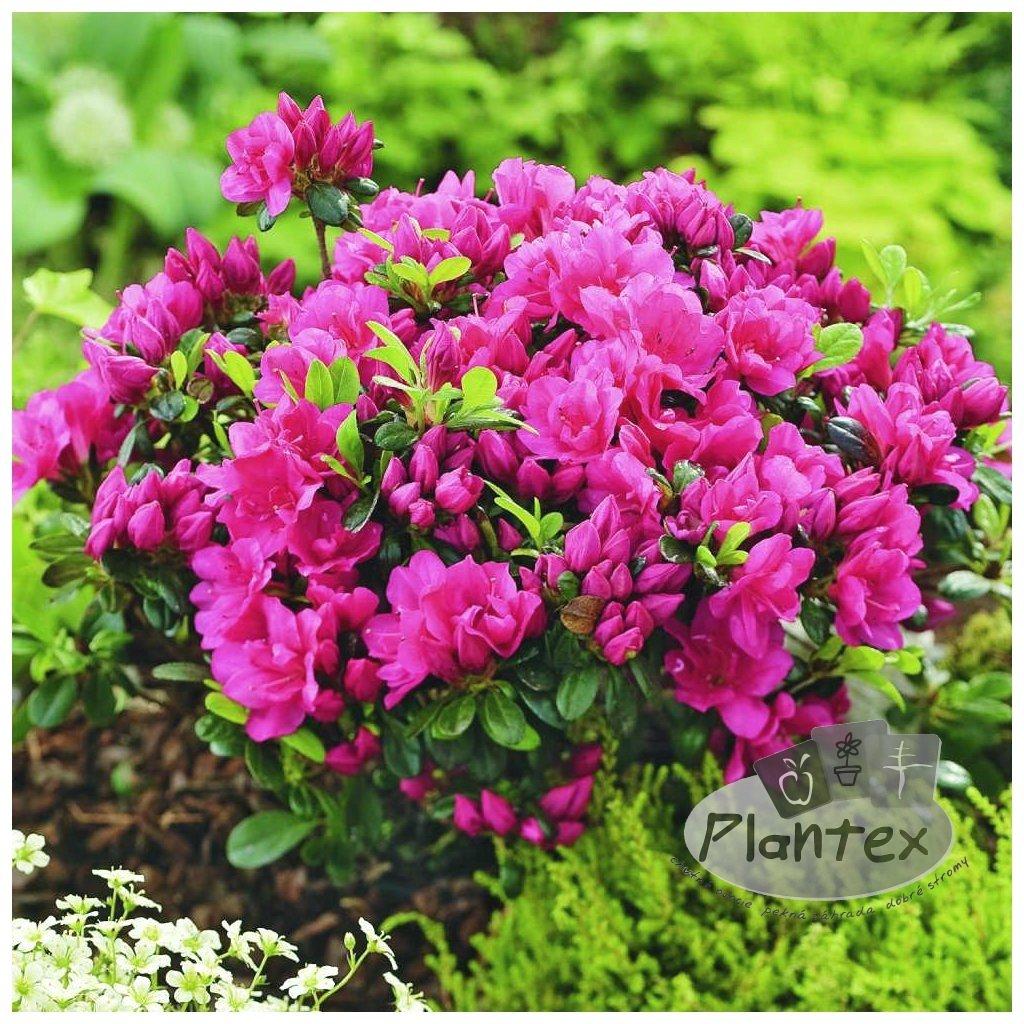 Rhododendron obtusum Canzonetta