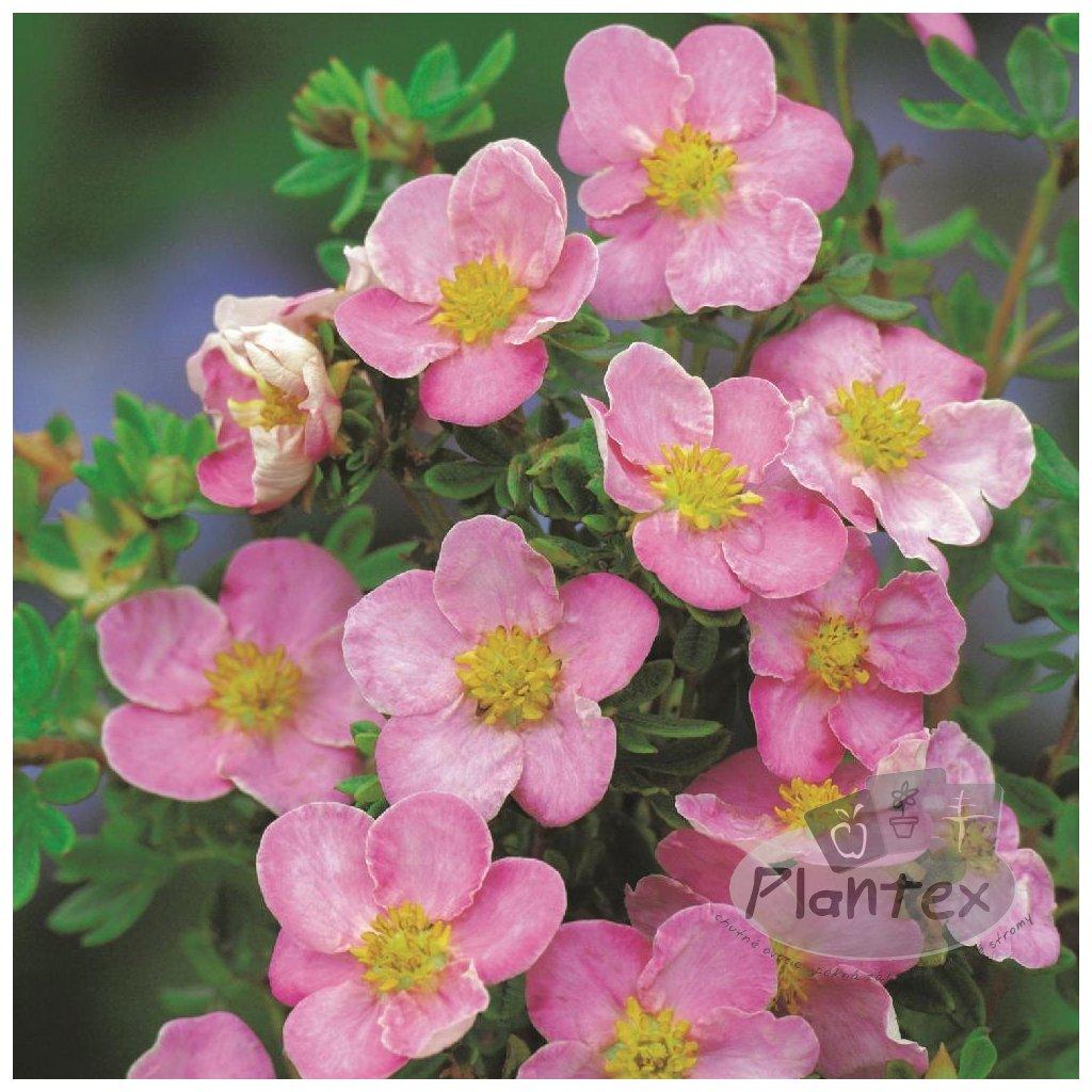 Potentilla rosa