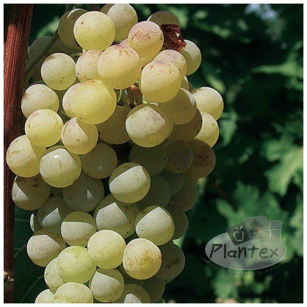 Vinic Cabianska perla