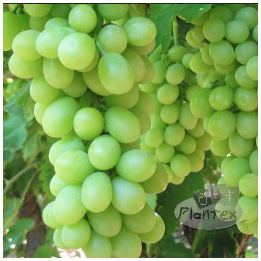Vinic Sugarone Sedlees