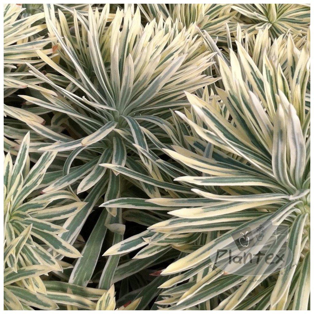 Euphorbia characias 'Tasmania Tiger'