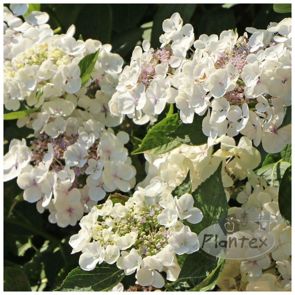 Hortenzia 'Lanarth white'