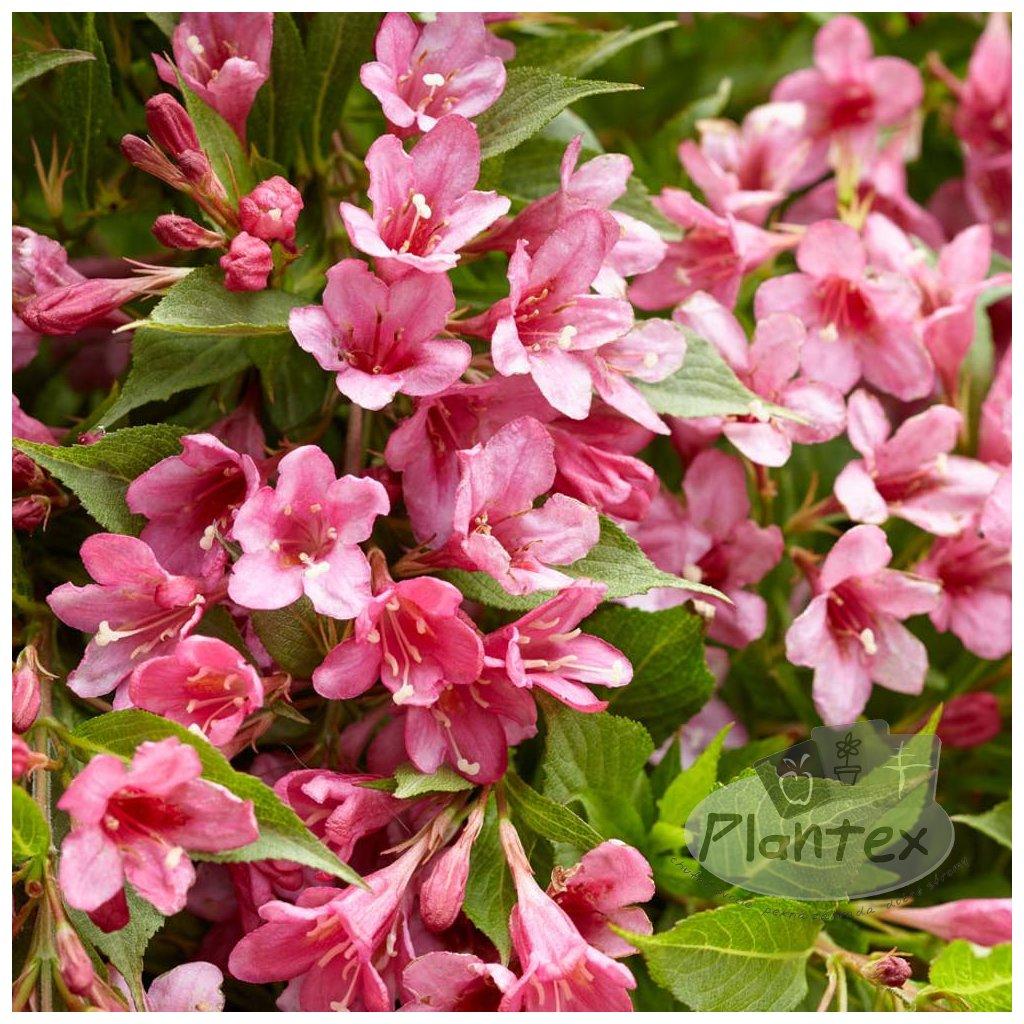 Vajgela hybridna Picobella rosa