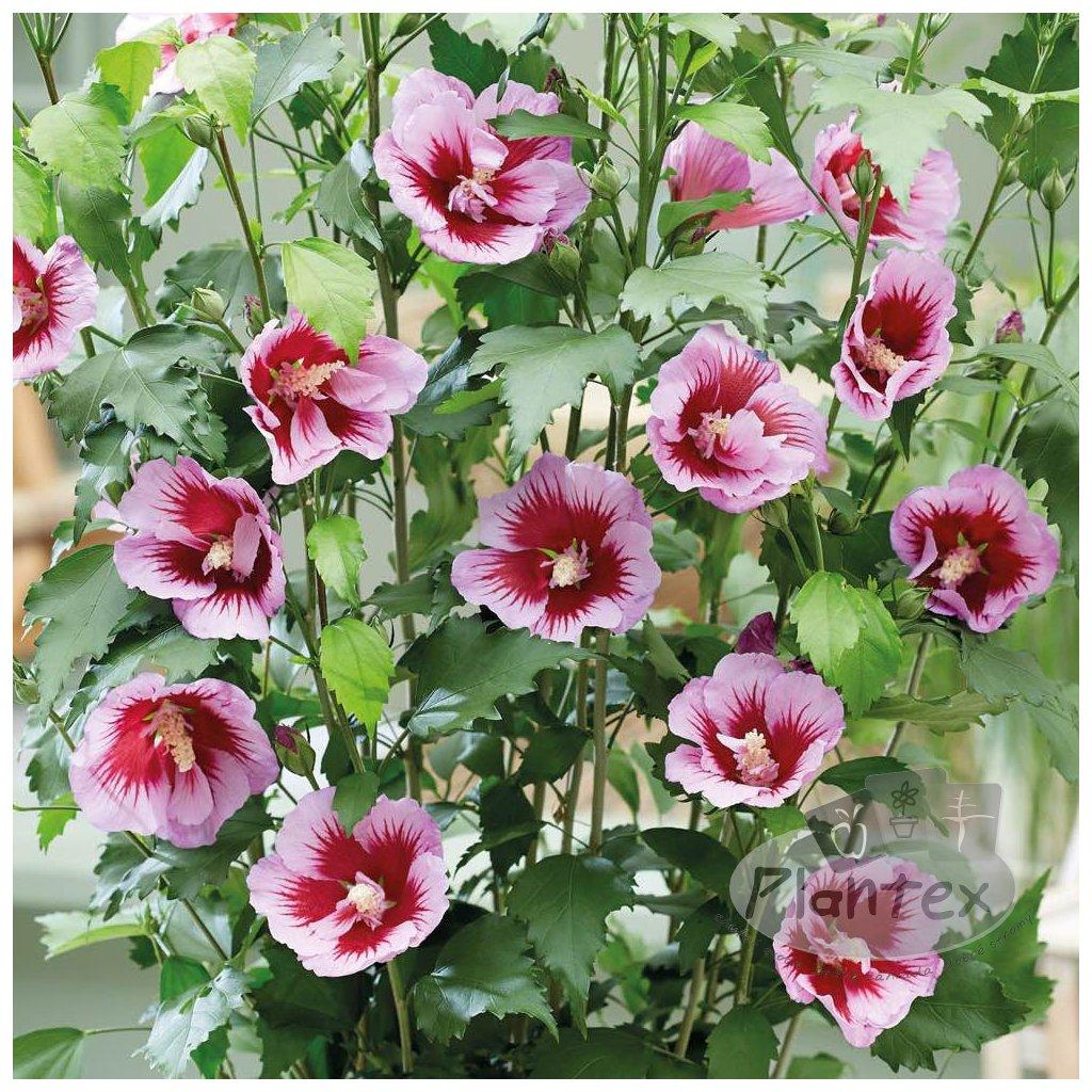 Ibistek Flower Towe Purple