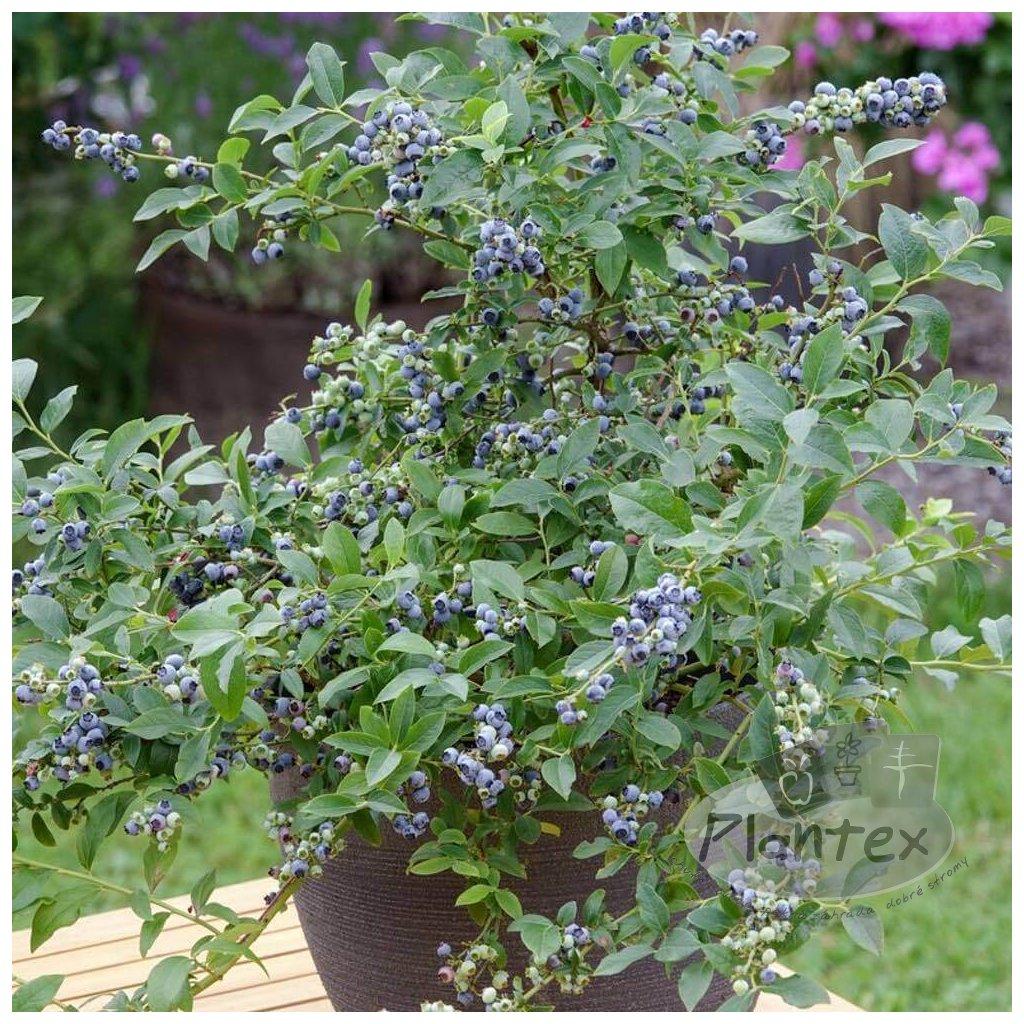 Cucoriedka Little Blue Wonder