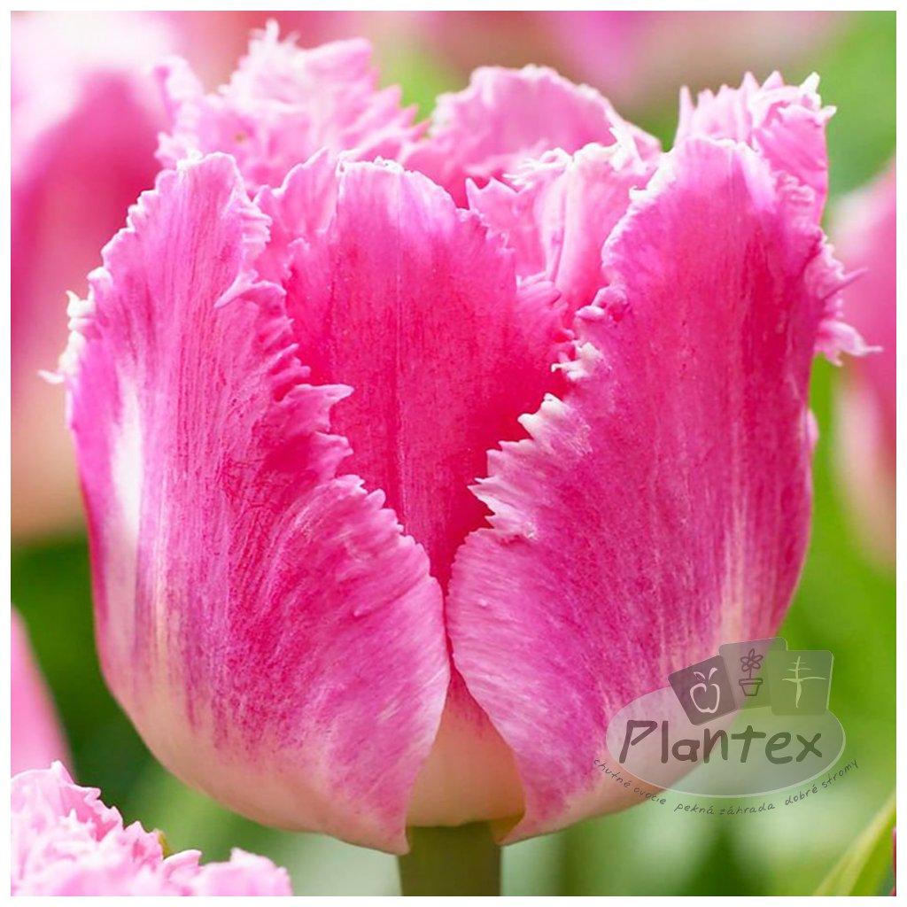 Cibuloviny Tulipan Dallas
