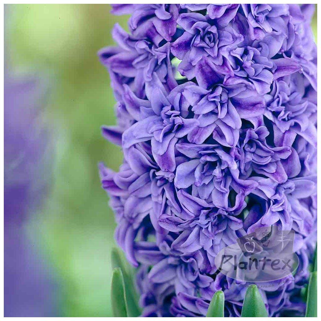 Hyacinth Crystal Palace