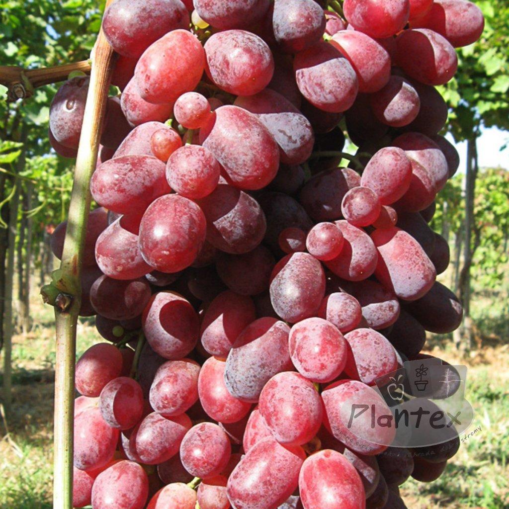 Vinic Rizamat