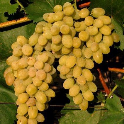 Vinic Bulgar