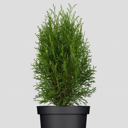 Tuja Smaragd 15 30cm