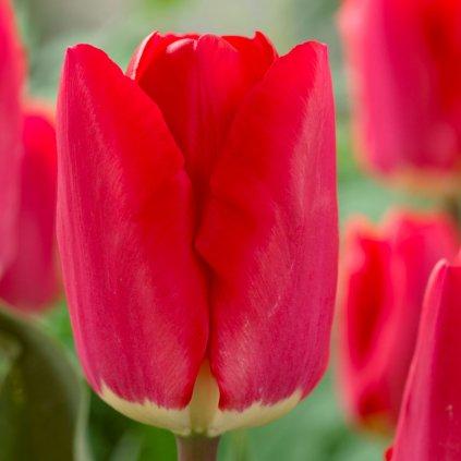 Cibuloviny Tulipan Fostery King