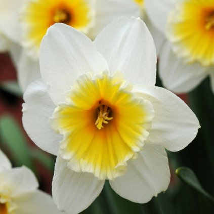Cibuloviny Narcis Slim Whitman
