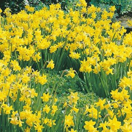 Cibuloviny Narcis Tete a Tete