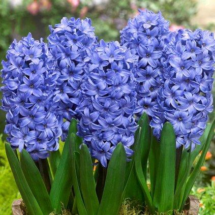 Cibuloviny Hyacint Delft Blue