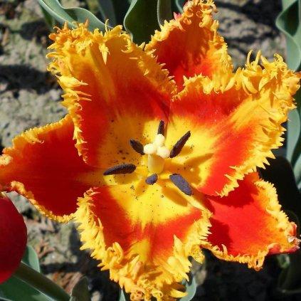 Cibuloviny Tulipan Joint Devision