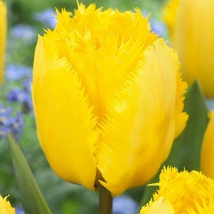 Cibuloviny Tulipan Crispy Mary
