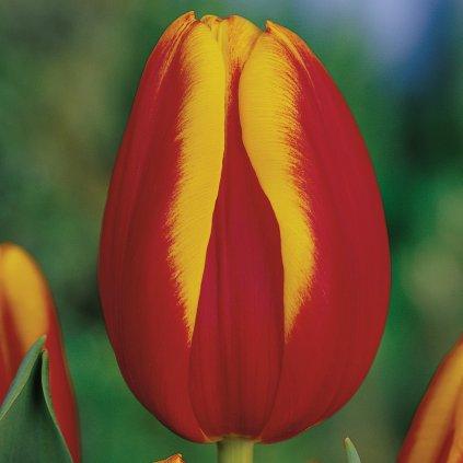 Cibuloviny Tulipan Andre Citroen