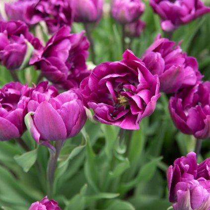 Cibuloviny Tulipan Negrita Double