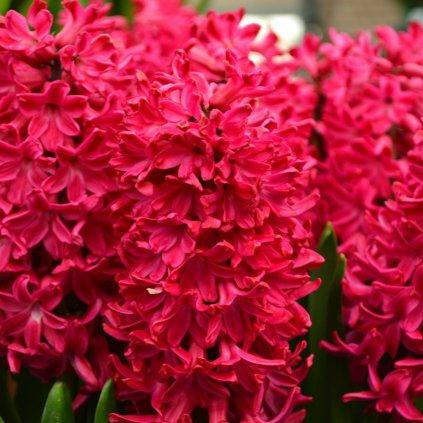 Cibuloviny Hyacint Jan Bos
