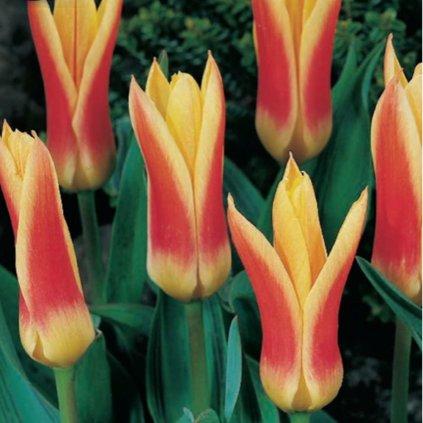 Cibuloviny Tulipan Corona