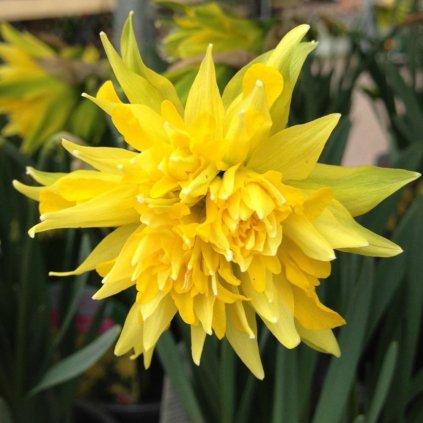 Cibuloviny Narcis Rip van Winkle
