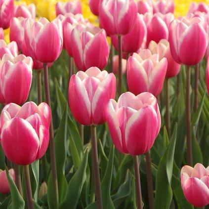 Cibuloviny Tulipan Jumbo Pink