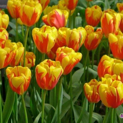 Cibuloviny Tulipan Holland Queen
