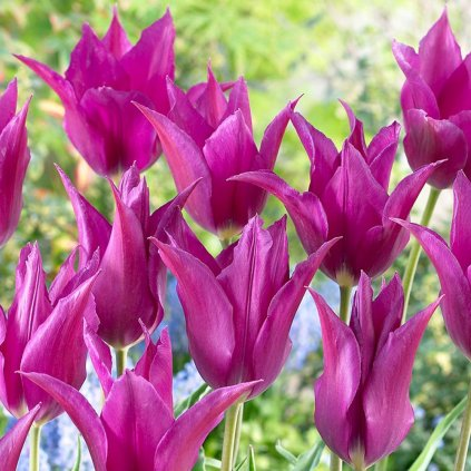 Cibuloviny Tulipan Purple Dream