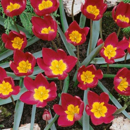 Cibuloviny Tulipan Humilis Odalisque