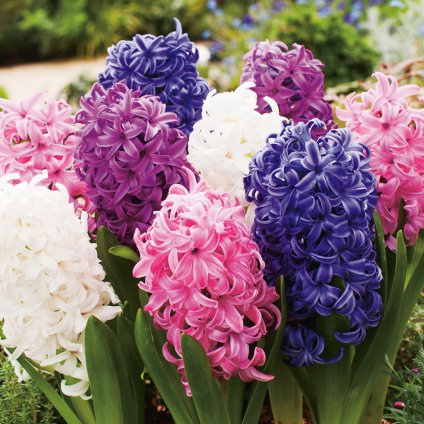 hyacinth mixed pkhyamxd