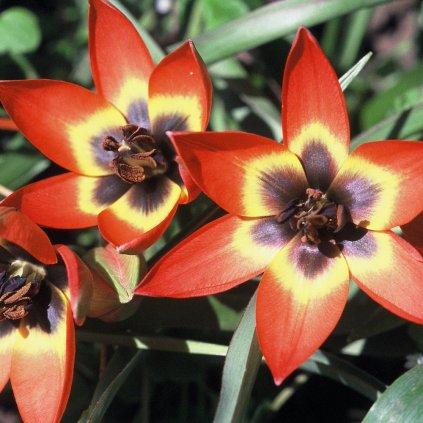 Cibuloviny Tulipan Little Princess