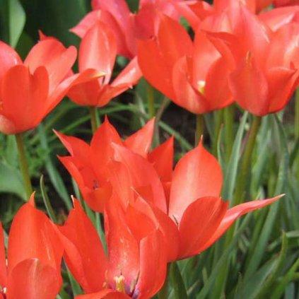 Cibuloviny Tulipan Red Hunter