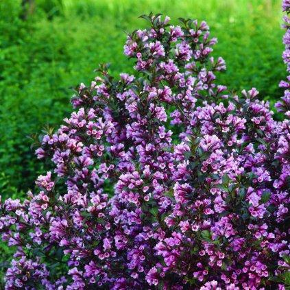 Weigela Purpurea