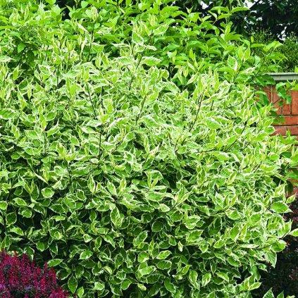Cornus Elegantissima