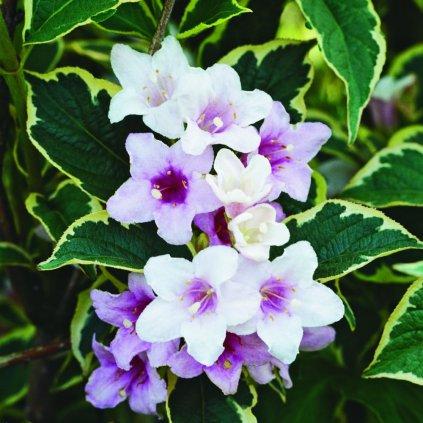 Weigela flor. Nana Variegata