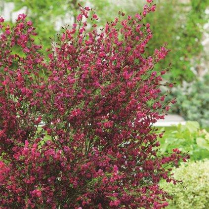 Cytisus Hybrid Boskoop Ruby