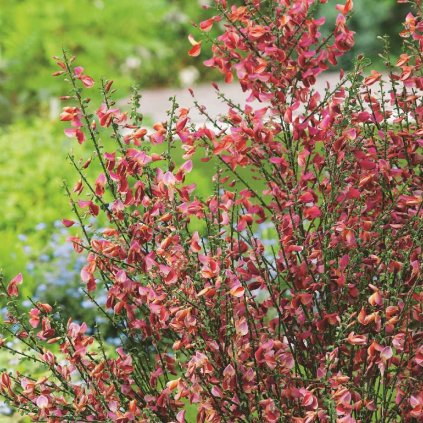Cytisus scop. Roter Favorite