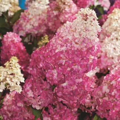 Hydrangea paniculata Fraise Melba®