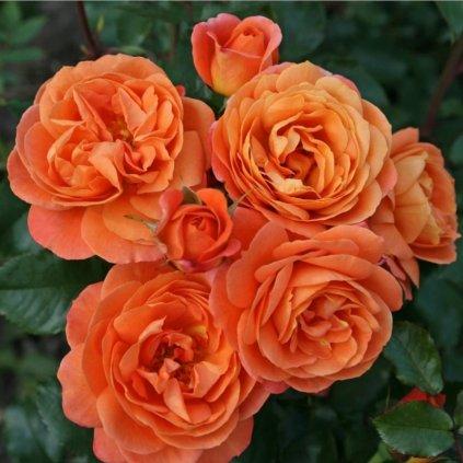 Ruza mnohokveta Orange Imp
